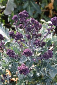 purp_broccoli
